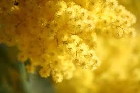 donna mimosa ok